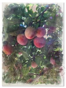 Apricots Watercolor 3