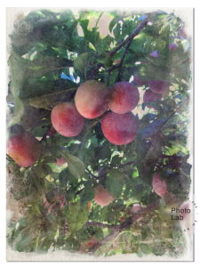Apricots Watercolor 3